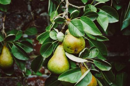 tree, pears, fruit, green, leaves, food, farm