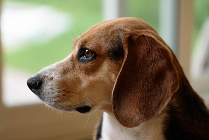 dog,  beagle,  pet,  ears,  animal,  fur,  close up,  canine,  companion,  puppy