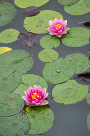 water,   lotus,   pond,   calm,   garden,   nature,   plant,   zen,   aquatic,   leaf,   blossom,   lake,   relax,  flowers