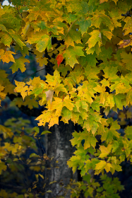 fall,  leaves,  tree,  nature,  colorful,  autumn,  foliage,  outdoors,  leaf,  season,  natural,  pattern