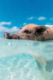 pig, animal, swimming, sea, ocean, blue, water, clouds, sky, summer