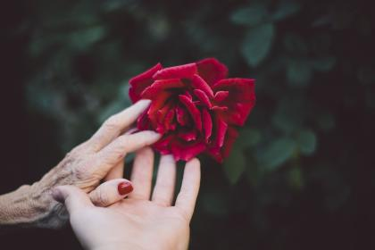 flower, red, petal, bloom, garden, plant, nature, autumn, fall, rose, people, hands, old, green, leaves