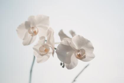 white, orchid, flower, nature, beauty
