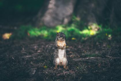 animals, squirrel, furry, fluffy, cute, adorable, stand, forest, soil, grass, trees