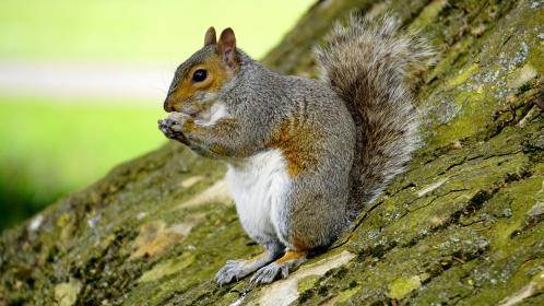 animals, mammals, squirrel, eating, sitting, standing, tree, trunk, still, bokeh, brown