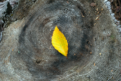 autumn,  foliage,  leaf,  wood,  tree,  texture,  nature,  outdoors,  fall,  season,  grain, timber