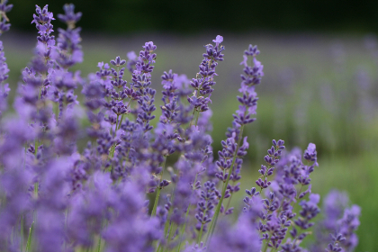 flower,   field,   lavender,   nature,   outdoors,   herbal,   purple,   plant,   grass,   blooming,   summer,  bokeh, wallpaper