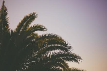 coconut, tree, green, leaf, plant, nature, sky