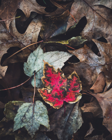autumn,   leaves,   background,   leaf,   fall,   nature,   assorted,   thanksgiving,   halloween,   seasonal,   maple,   tree,   texture,   natural,  red