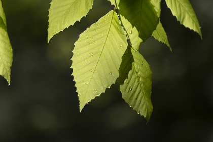 green,  leaves,  close up,  trees,  foliage,  forest,  nature,  outdoors,  natural,  organic,  spring,  summer,  wet,  droplets,  water,  rain,  fresh,  growth,  plants,  vegetation,  environment