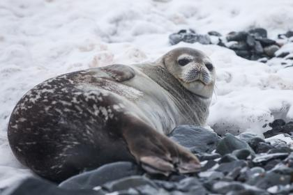 sea, lion, aquatic, animal, mammal, snow, winter, rocks, stone