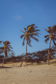 plam tree,  swinging,  wind,  beach,  travel,  vacation,  holiday,  blue sky,  sand,  bush,  tree