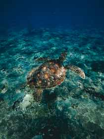 diving,  snorkeling,  turtle,  ocean, sea turtle, sea, water, underwater, travel, vacation, holiday
