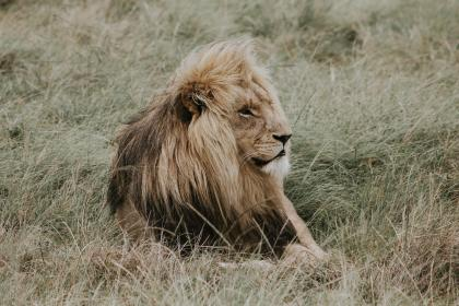 grass, lion, animal, wildlife