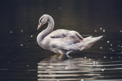white,  swan,  pond,  water,  river,  wet,  splash,  drop,  bird,  large,  animal