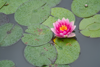 water,  flower,  lotus,  pond,  calm,  garden,  nature,  plant,  zen,  aquatic,  leaf,  blossom,  lake, relax