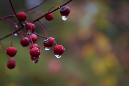 rain,  drops,  nature,  plant,  berry,  dew,  wet,  bokeh,  outdoors,  close up,  environment,  background