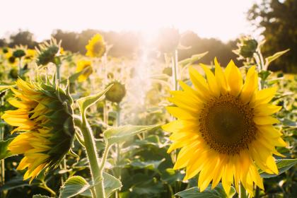 sunshine, yellow, sunflowers, garden, nature, summer