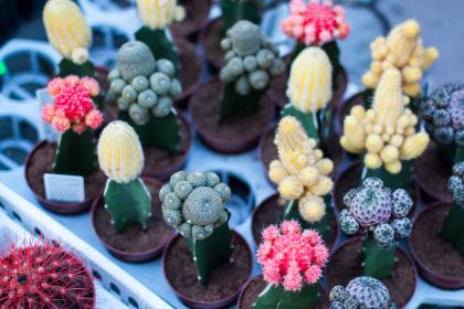 red, pink, yellow, green, cactus, plant, nature, flowerpot, soil, display