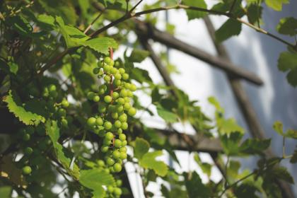 plants, nature, vines, leaves, branches, grapes, green, still, bokeh