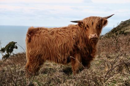 highland, cow, cattle, animal, sea, water, outdoor, nature, mountain, sky, cloud