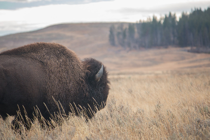 bison,  nature,  wildlife,  grassland,  field,  outdoors,  animal,  environment