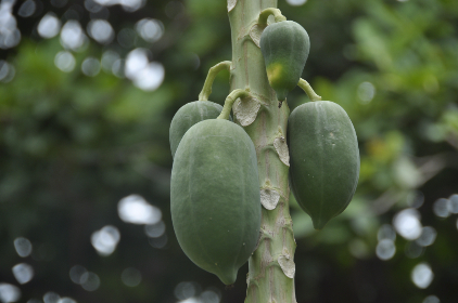 papaya, green, plants, trees, nature, forest