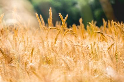 wheat, grass, agriculture, plant, nature, outdoor, blur, field, farm
