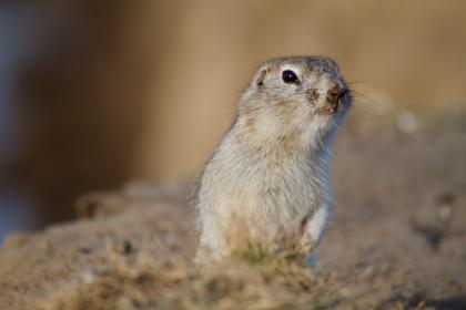 prairie dog, rodent, squirrel, animal