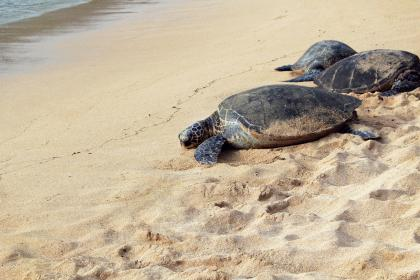 animals, turtles, tortoises, amphibians, hard, shells, nature, beach, sand, shore, water, ocean, sea