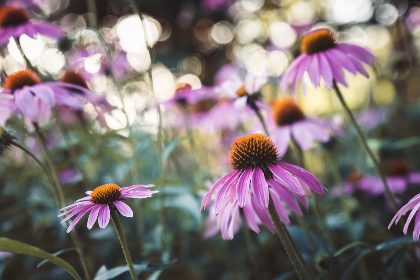 flowers,  garden,  bokeh,  plant,  herb,  natural,  nature,  fresh,  wild,  grass,  pink,  purple,  leaf,  petals,  bloom, blossom