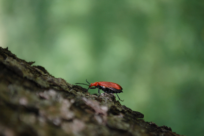 red, beetle, insect, bark, tree, animals, green, crawl, small, creepy