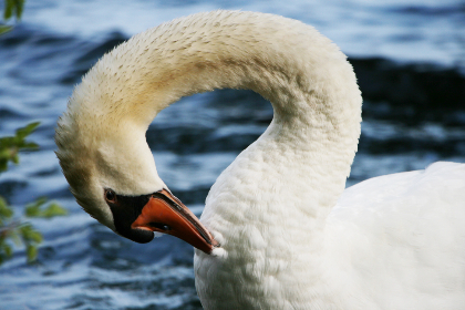 swan,   close up,   animal,   beak,  bird,  neck,  white,  feathers,  water,  lake,   wildlife,   nature,   pond,  river