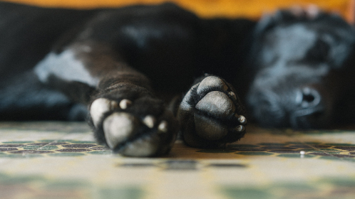 sleeping,  dog,  paws,  close up,  doggy,  canine,  indoors,  pet,  black,  happy,  lazy,  animal
