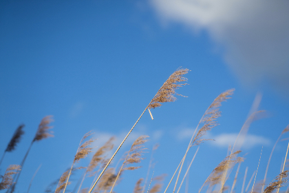 reeds, blue, sky, clouds, nature, agriculture, farm, summer