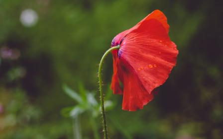 free photo of red  petal