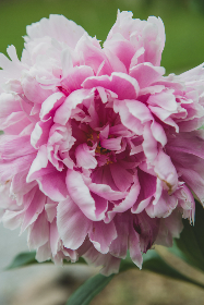 macro,   flower,   garden,   nature,   outdoors,   bloom,   blossom,   botany,   petals,   leaves,   fresh,   pink,   flowers,   spring,   summer,   plant,  close up