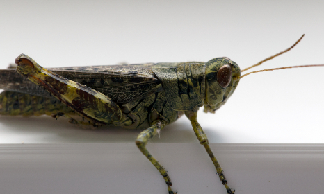 free photo of grasshopper   macro