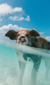 pig, animal, snout, clouds, sky, water, nature