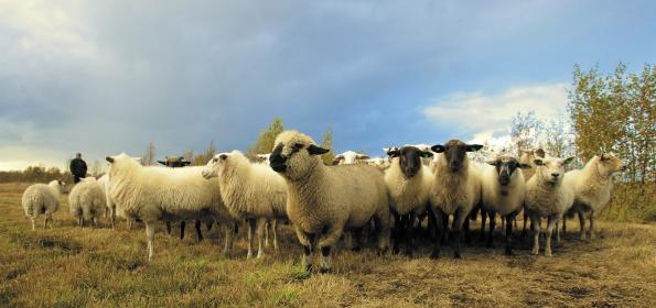 animals, sheep, ram, flock, herd, farm, farmer, shepherd, fleece, wool, grass, trees, sky, clouds
