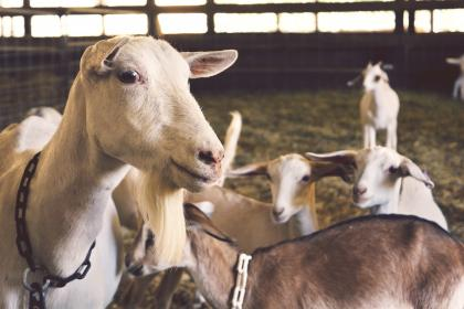 free photo of goats  animals