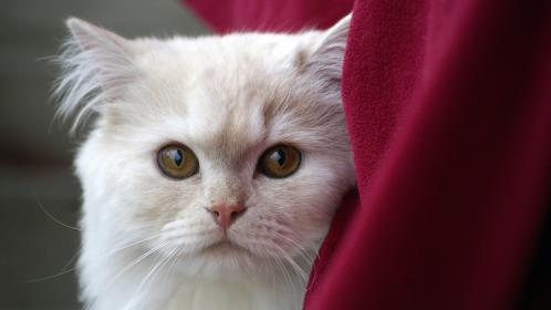 free photo of white  cat