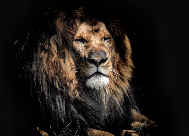 old,   age,   lion,   wildlife,   rough,  black,  background,  animals,  wise