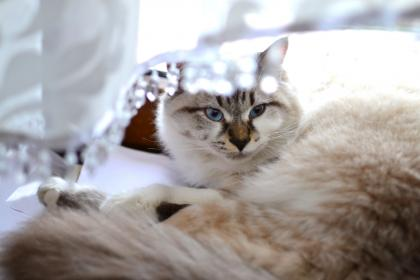 animals, feline, cats, persian, purebred, whiskers, adorable, fur, fluffy, white