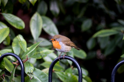 bird, robin, fence, red, aviary, leaves, park, metal, wing