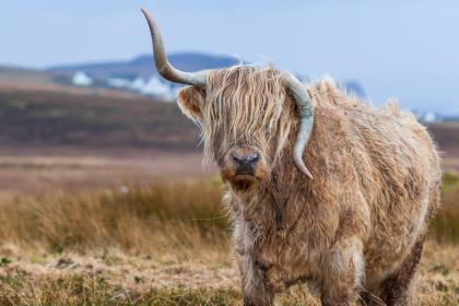animal, horn, cow, nature, field, dry, summer, mountain, sky