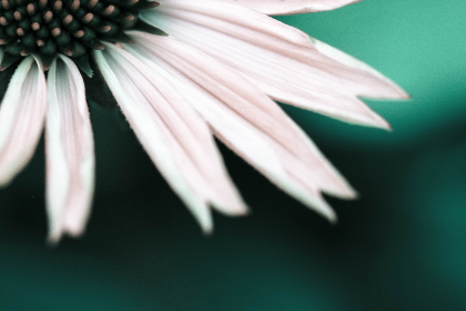 white,  flower,  petals,  macro,  background,  wallpaper,  plant,  nature,  wild,   flora,   outdoors,   spring,   summer,   blossom,  close up