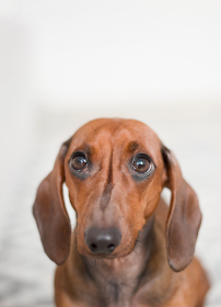 dachshund,   dog,  animal,  pet,  white background,  concerned,  concern,  worry,  worried,  big eyes,  ears