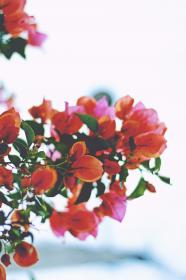 bougainvillea, flower, red, petals, garden, nature, sky,  green, leaves, thorn, blur