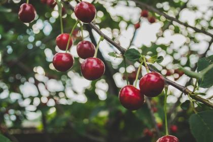cherries, fruits, trees, branches, nature, food, healthy